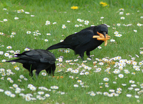 greg7_large-mouth_crows