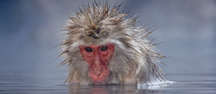 A Japanese Macaque, or Snow Monkey, soaks in a hot tub near Jigokudani in Japan.