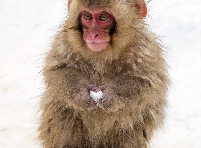 monkey with snowball 2