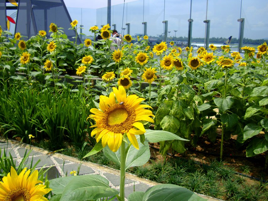 changi airport sunflower garden best