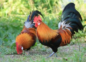 endangered-chickens-singapore-red-jungle-fowl