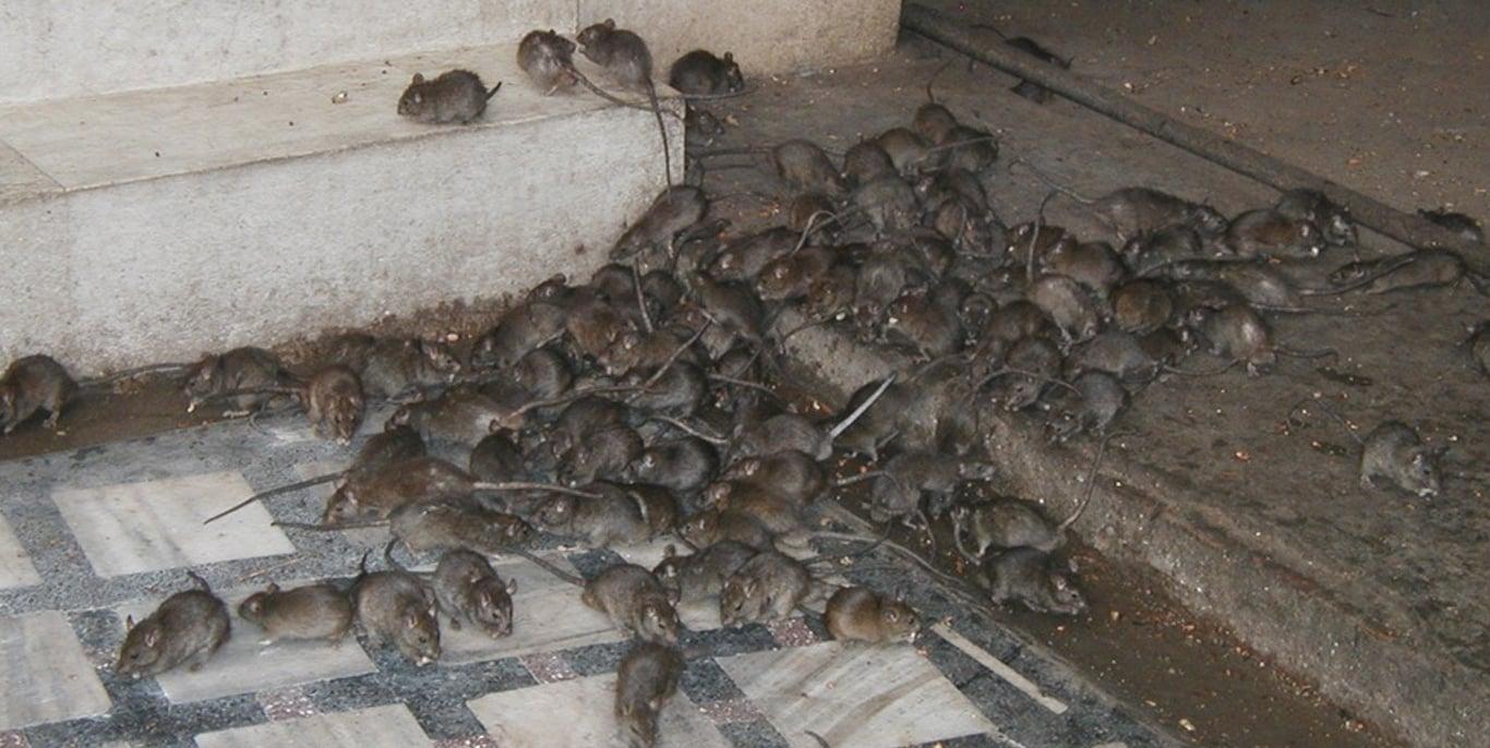 Image result for rat infestation