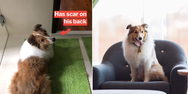 Netizens Unite To Find Missing Sheltie From Platinium Dogs Club Saga