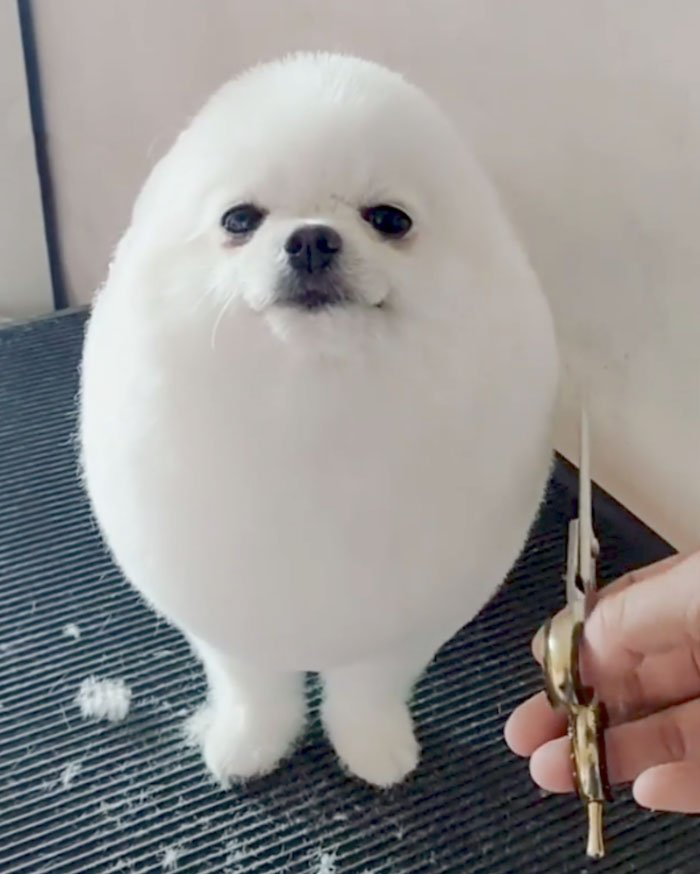 Singapore Has Her Own Egg Boy & This Fluffy Pomeranian Is ...
