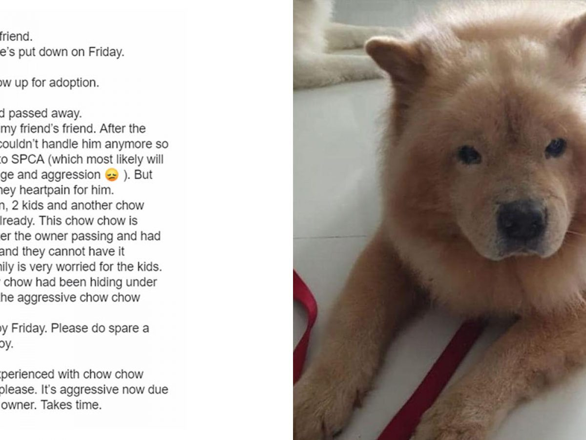 Chow Chow Seeks A Home After S Porean Owner Passes Away Could Be Put Down On Friday