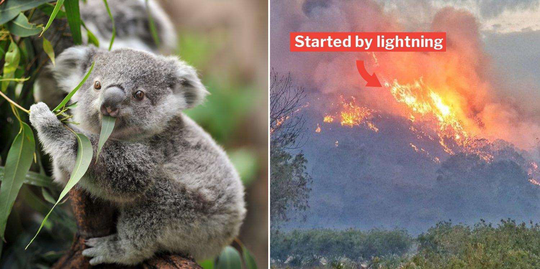 Koala Breeding Region In Australia Hit By Bushfire Hundreds Feared Burnt Alive