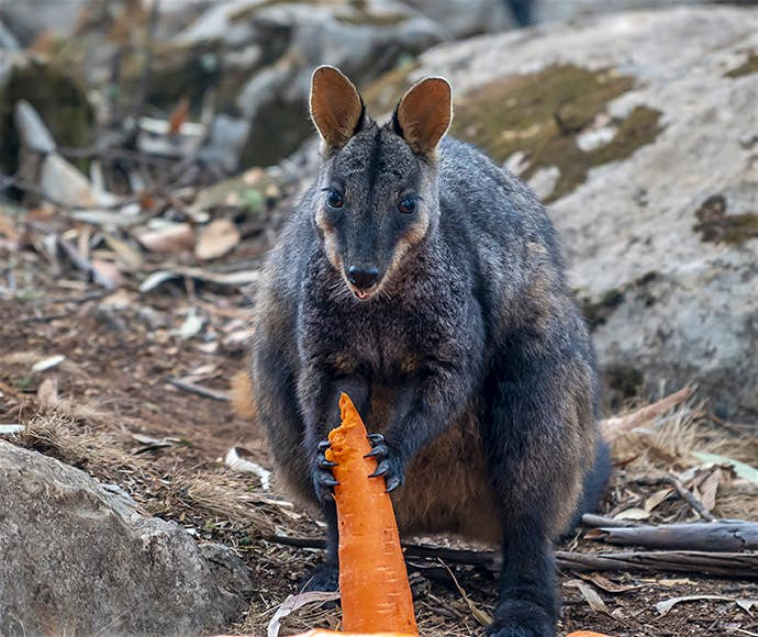Operation Rock Wallaby