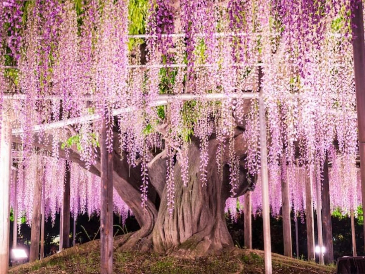 Wisteria Vines In Japan Make Us Feel Like We Ve Entered The World Of Avatar But In Pink