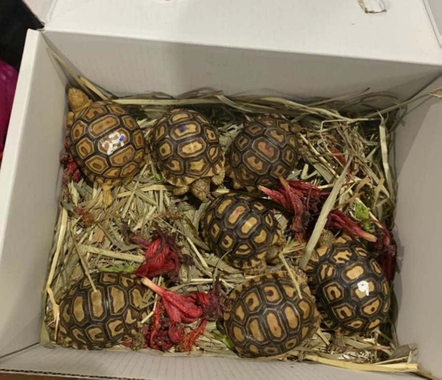 baby leopard tortoises 1
