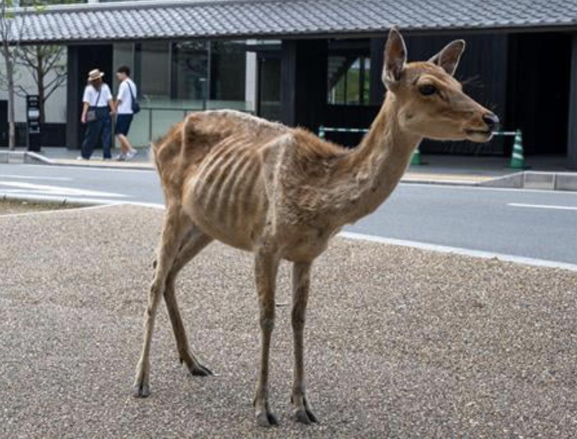 Skinny Deer 1