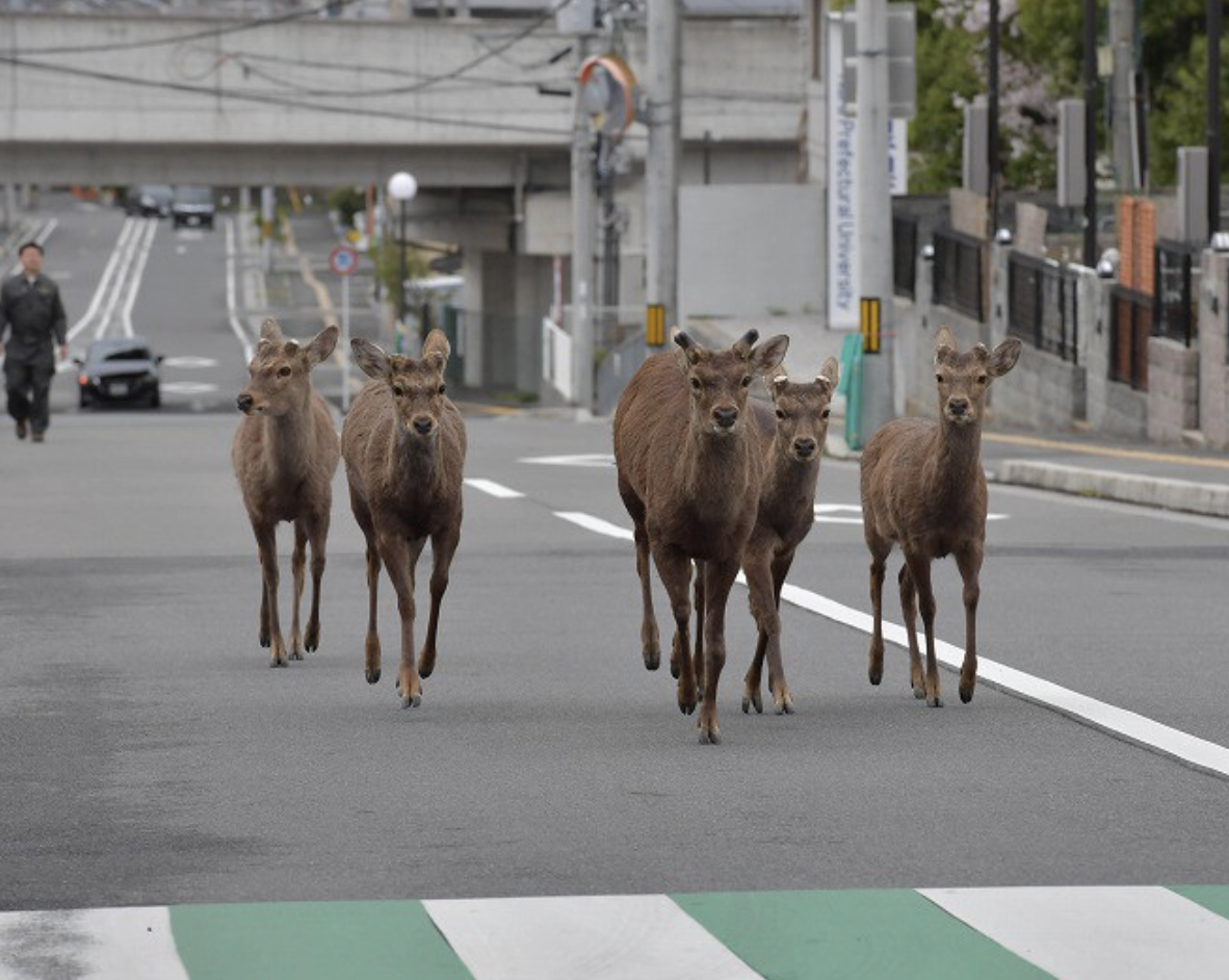 Wandering Deer 1