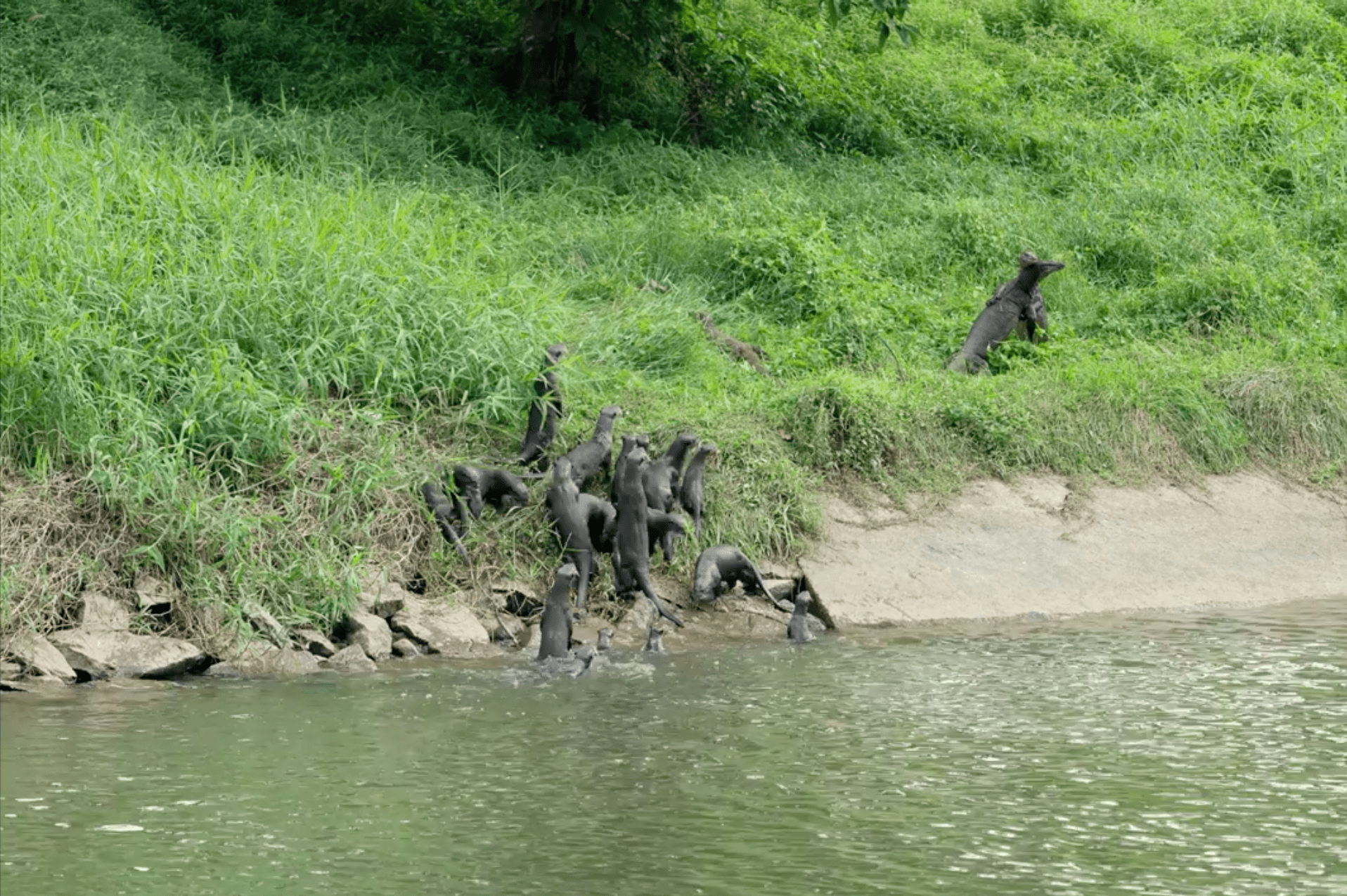 Monitor lizards otters kaypoh