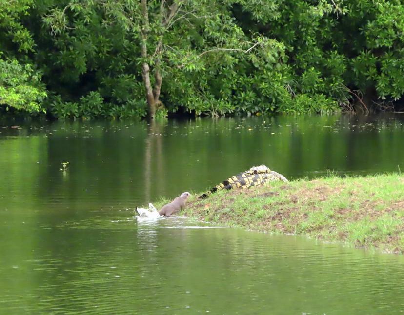 Otter creeps up on crocodile