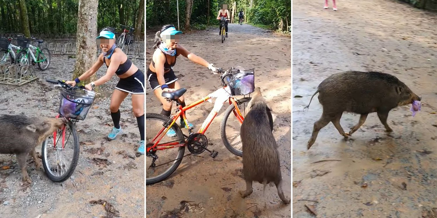 Woman Fends Off Hungry Wild Boar On Pulau Ubin It Really Wanted Food From Her Plastic Bag