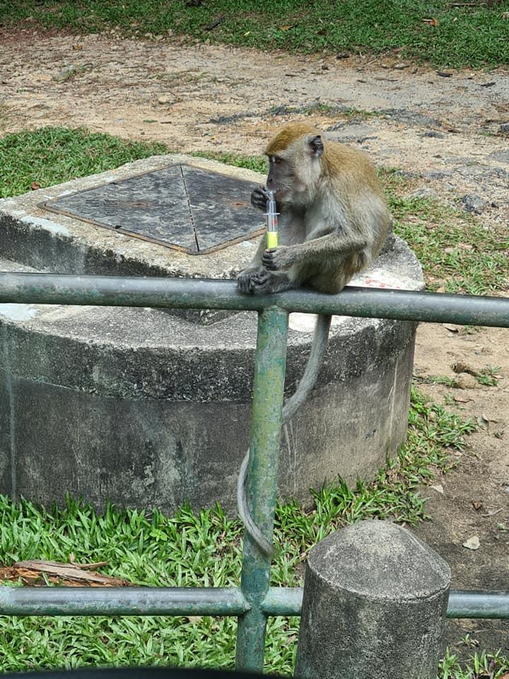 bukit timah macaque syringe