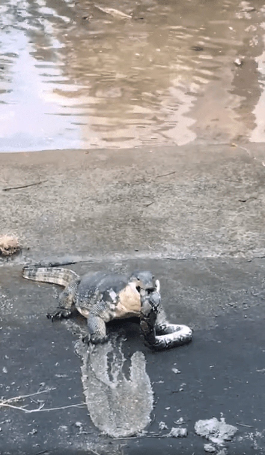 monitor lizard python