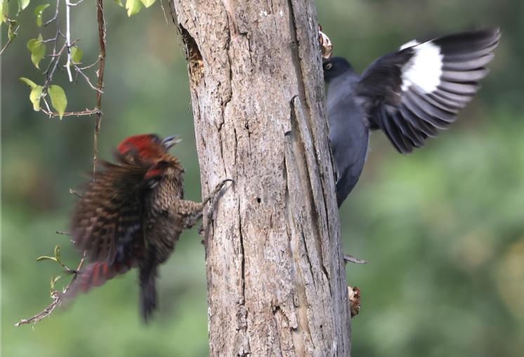 Mama woodpecker