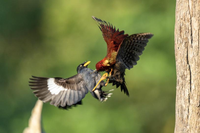 Mama bird attacks