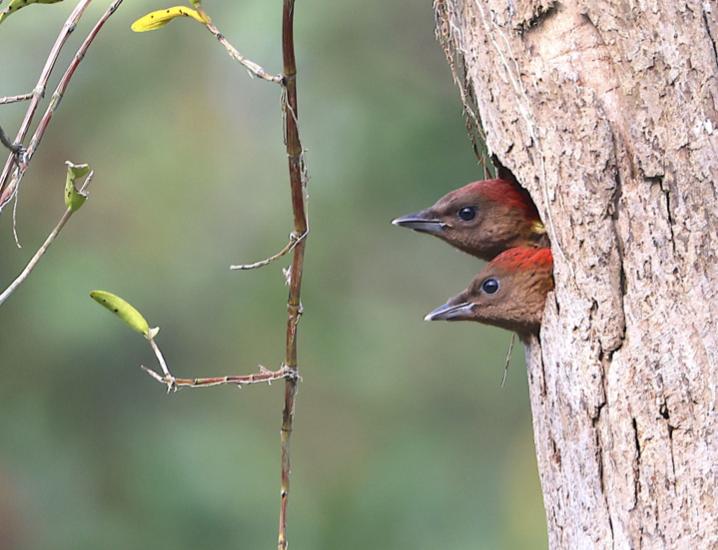 Woodpecker chicks