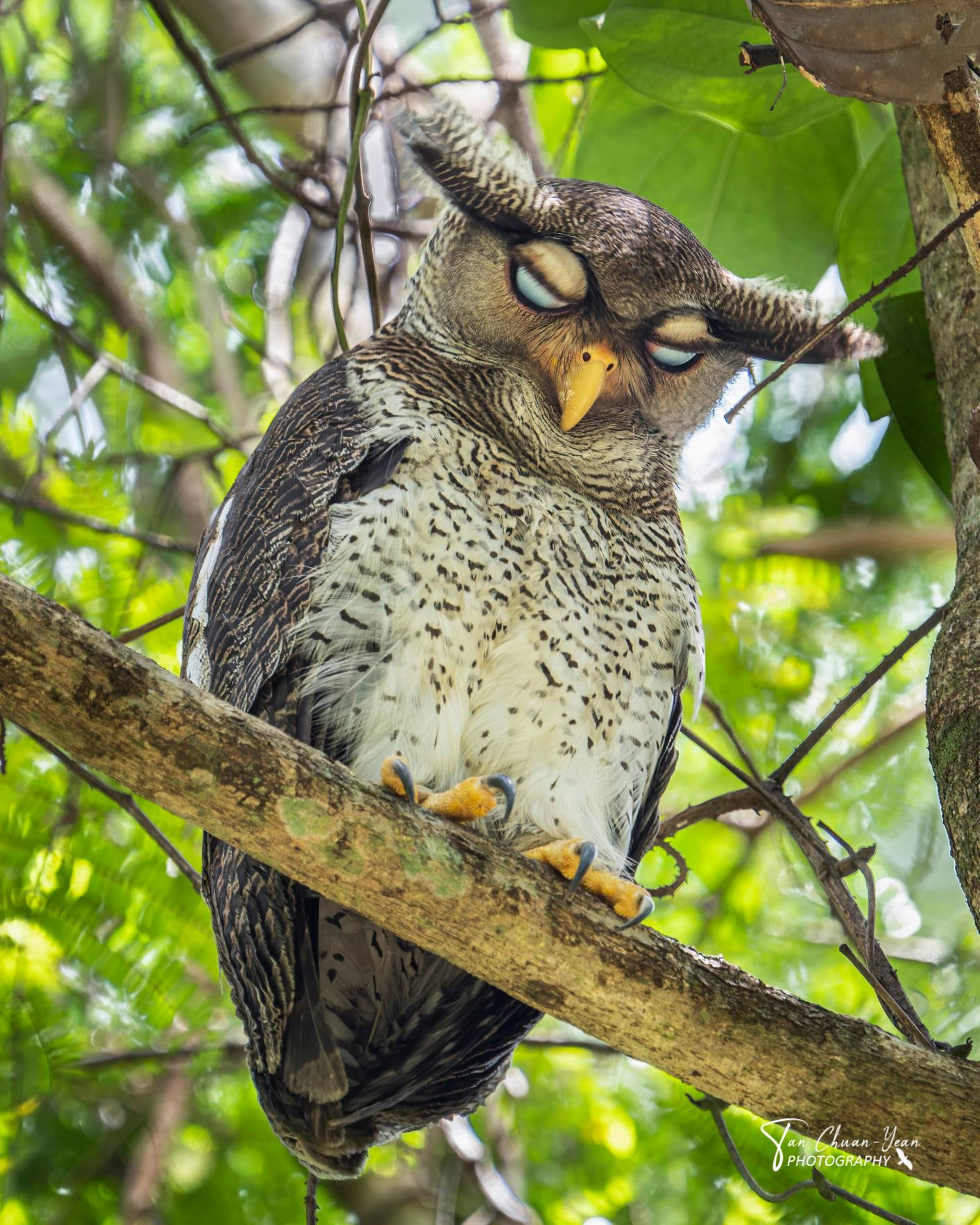 barred eagle-owl