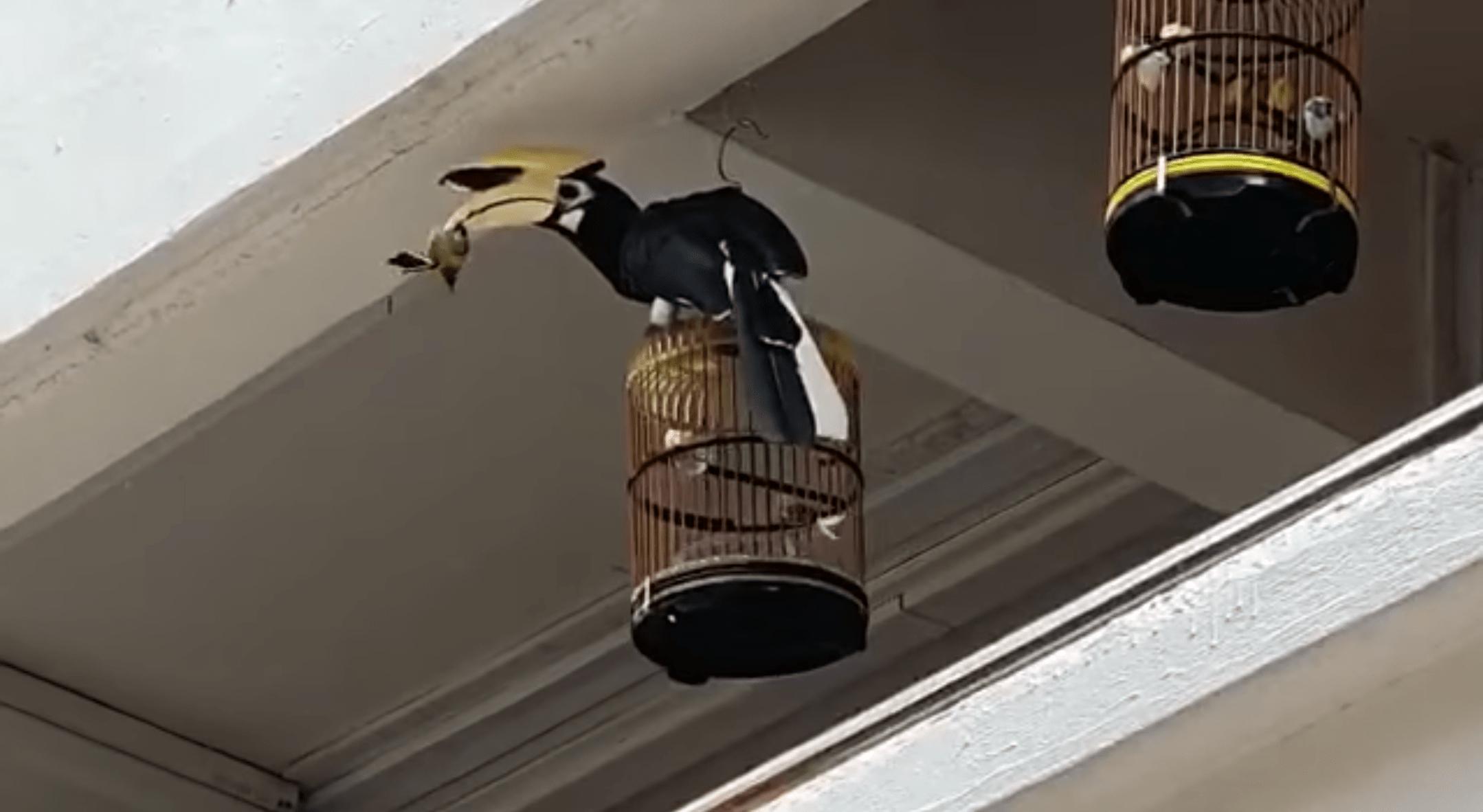 hornbill pet bird