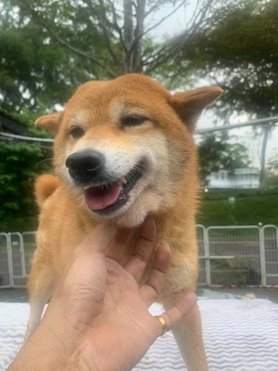 adorable shiba inu 3