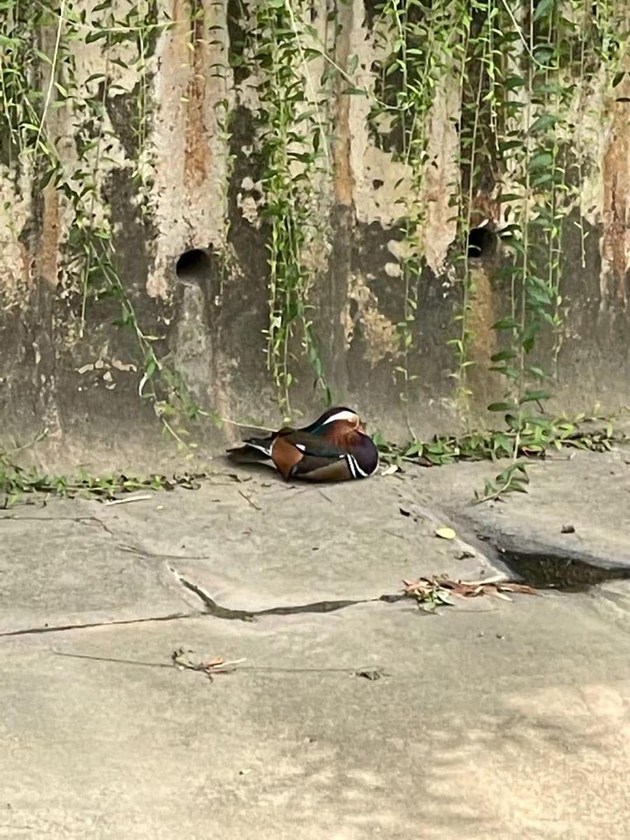 majestic mandarin duck 1