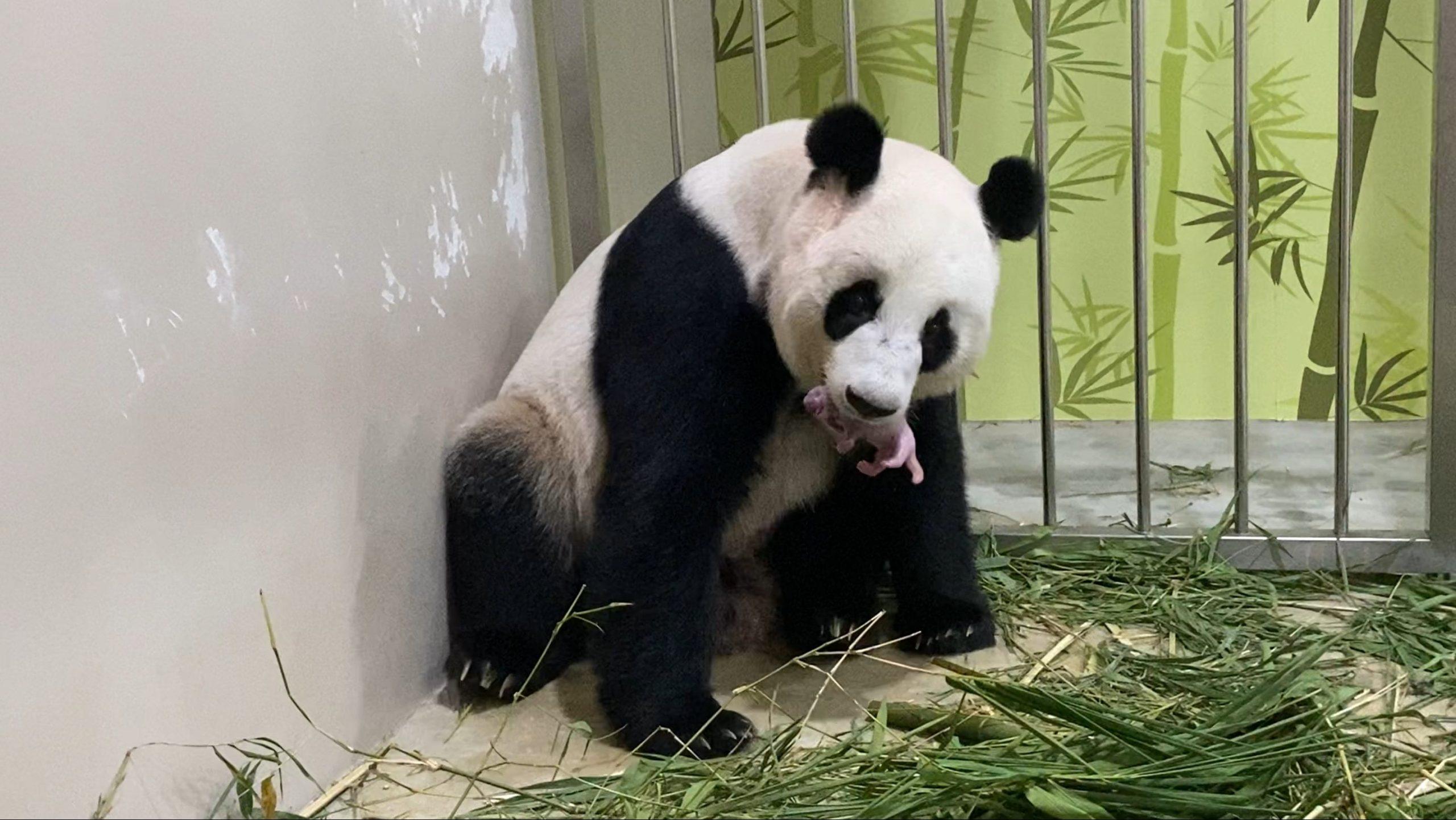 panda cub 14 Aug
