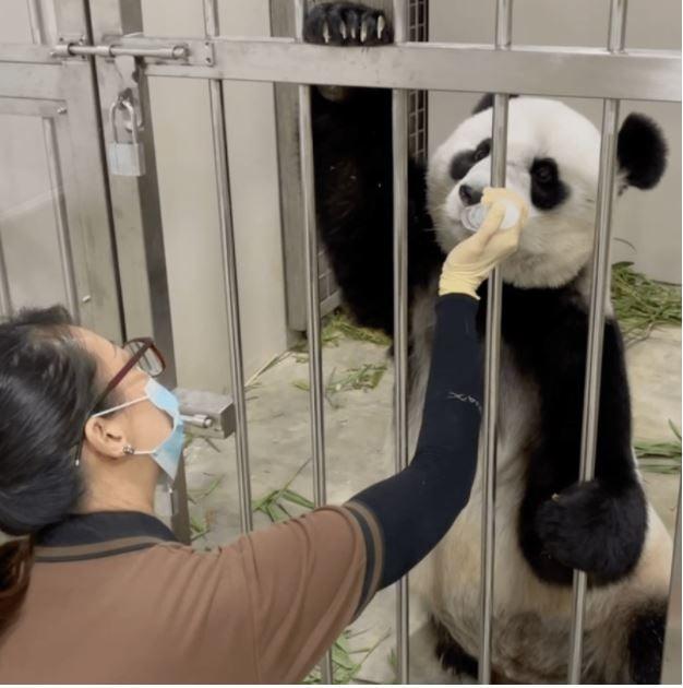 Wildlife reserves panda intern